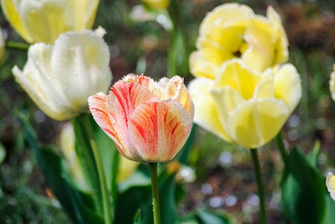 Tulips at Clark Botanic Garden in Albertson, NY. Photograph by Alyson Goodman.