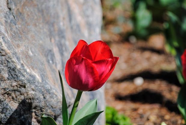 Tulip at Clark Botanic Garden in Albertson, NY. Photograph by Alyson Goodman.