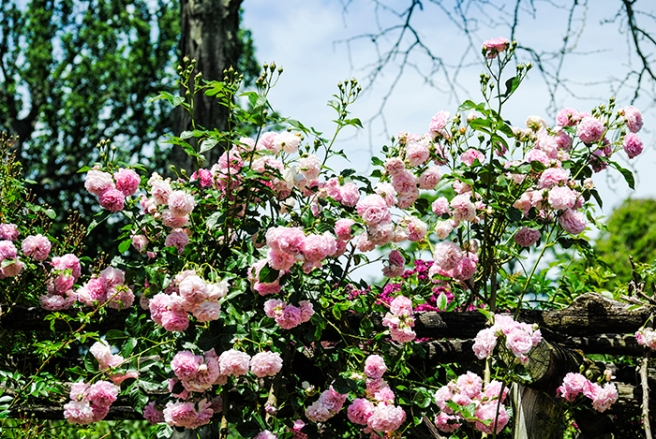 Old Westbury Garden's Rose Garden in Old Westbury, NY. Photo by Alyson Goodman.