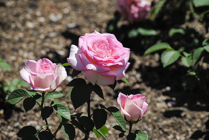Old Westbury Garden's Rose Garden in Old Westbury, NY. Photo by Alyson Goodman.