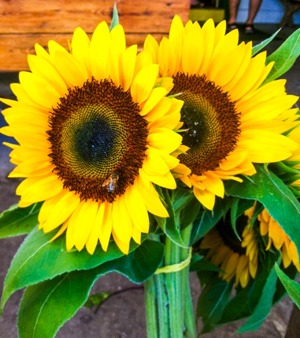 Sunflowers t Briermere Farms in Riverhead, NY. Photo by Alyson Goodman.