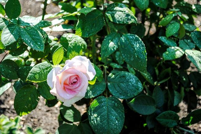Old Westbury Gardens Rose Garden, photo by Alyson Goodman