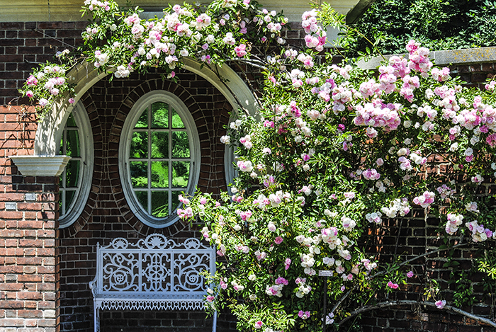 Roses at Old Westbury Gardens in Old Westbury, NY. Photo by Alyson Goodman.