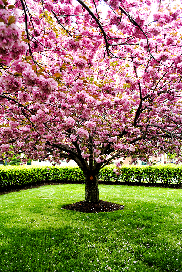 Kazan Cherry Tree, Garden City, NY. Photo by Alyson Goodman.