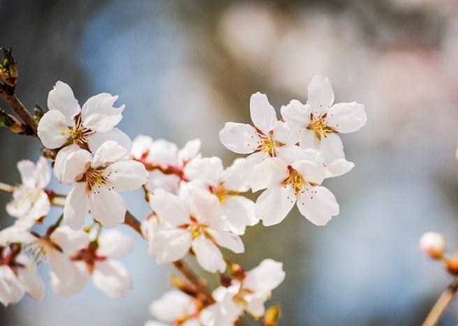 Cherry blossoms at Clark Botanic Garden in Albertson, NY. Photo by Alyson Goodman.