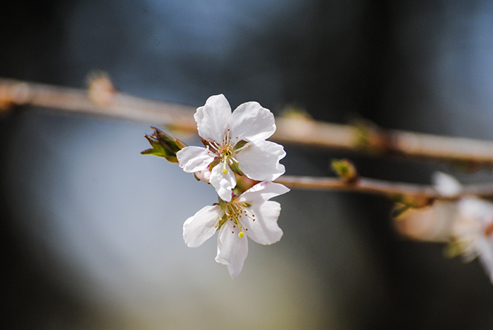Cherry blossoms at Clark Botanic Garden in Albertson, NY. Photo by Alyson Goodman.