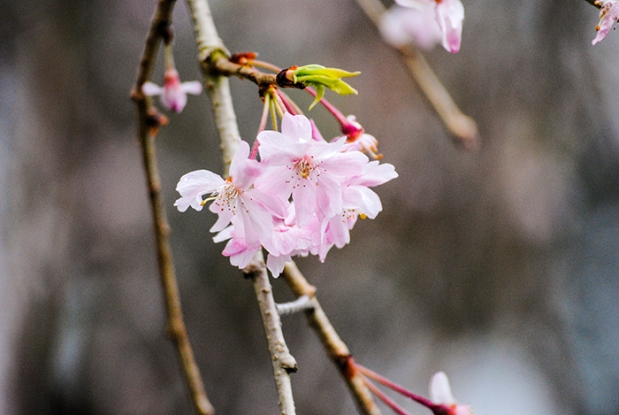 Cherry blossoms at Planting Fields Arboretum in Oyster Bay, NY. Photo by Alyson Goodman.
