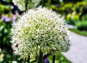 Allium at Old Westbury Gardens in Old Westbury, NY. Photo by Alyson Goodman.