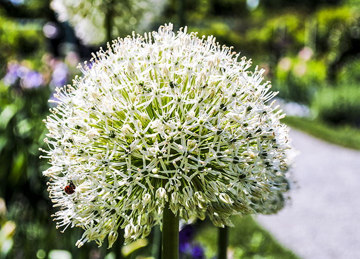 Allium at Old Westbury Gardens in Old Westbury, NY. Photo by Alyson Goodman.