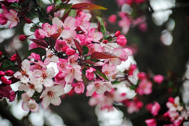 Crabapple tree at Planting Fields Arboretum in Oyster Bay, NY. Photo by Alyson Goodman.