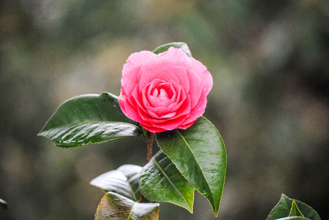 Camellia at Planting Fields Arboretum in Oyster Bay, NY. Photo by Alyson Goodman.