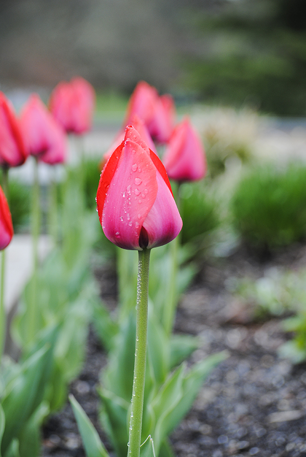 Tulips at Planting Fields Arboretum in Oyster Bay, NY. Photo by Alyson Goodman.