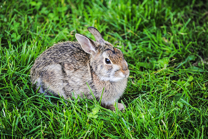 Rabbit at Clark Botanic Garden in Albertson, NY. Photo by Alyson Goodman.