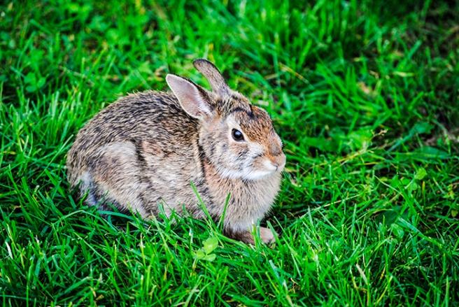 Rabbit at Clark Botanic Garden in Albertson, NY. Photo by Alyson Goodman.