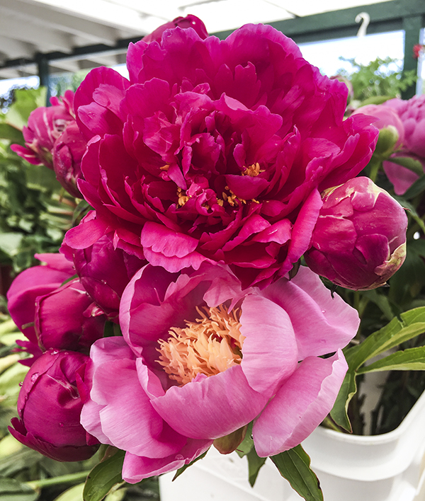 Peonies at Briermere Farms in Riverhead, NY. Photo by Alyson Goodman.