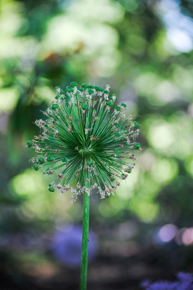 Allium at Clark Botanic Garden in Albertson, NY. Photo by Alyson Goodman.