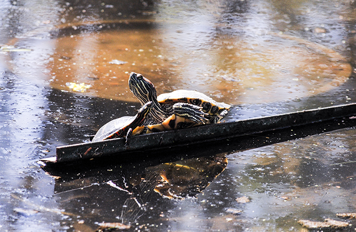 Turtles at Clark Botanic Garden in Albertson, NY. Photo by Alyson Goodman.