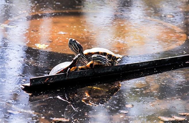 Turtles at Clark Botanic Garden in Albertson, NY. Photo by Alyson Goodman.