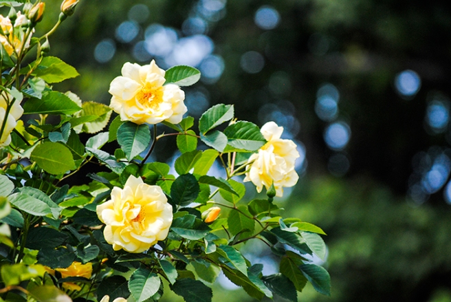 Roses at Clark Botanic Gardens in Albertson, NY. Photo by Alyson Goodman.