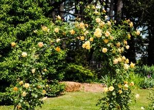 Roses at Clark Botanic Garden in Albertson, NY. Photo by Alyson Goodman.