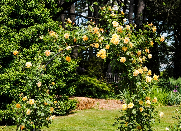 Roses at Clark Botanic Garden in Albertson, NY. Photo by Alyson Goodman.