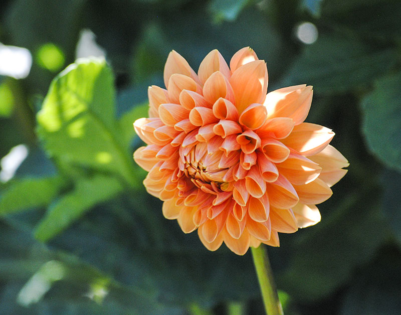 Dahlia at Planting Field in Oyster Bay, NY. Photo by Alyson Goodman.
