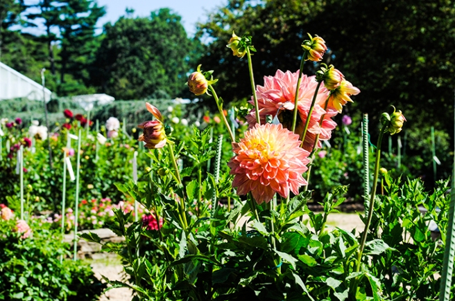 Dahlia Garden at Planting Fields Arboretum in Oyster Bay, NY. Photo by Alyson Goodman.