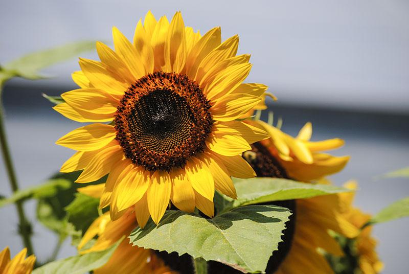 Sunflowers at Clark Botanic Garden in Albertson, NY. Photo by Alyson Goodman.