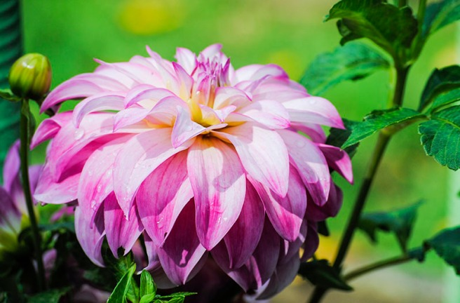 Dahlias at Eisenhower Park in East Meadow, NY. Photo by Alyson Goodman.