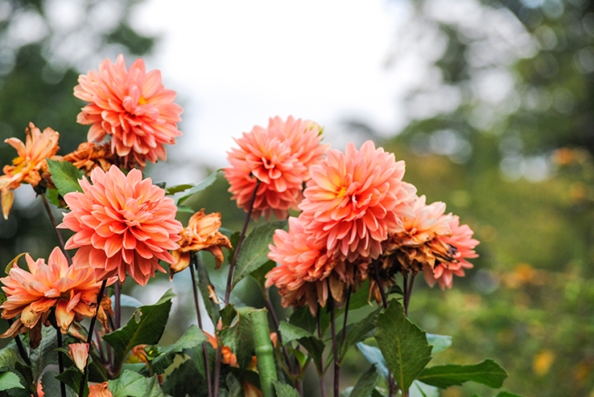 Dahlias at Old Westbury Gardens in Old Westbury, NY. Photo by Alyson Goodman.