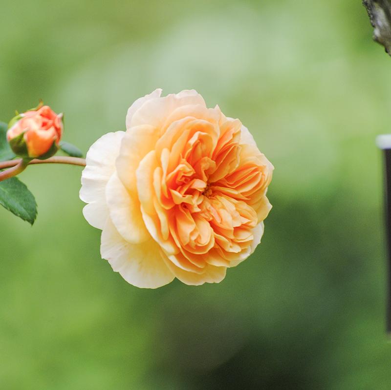 Rose Garden at Old Westbury Gardens in Old Westbury, NY. Photo by Alyson Goodman.