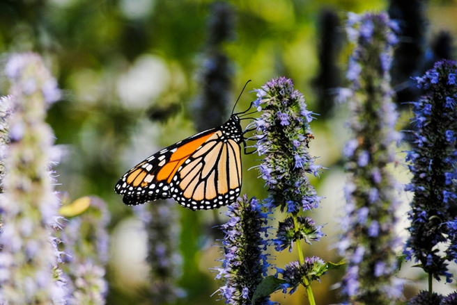 Butterfly at Planting Field Arboretum in Oyster Bay, NY. Photo by Alyson Goodman.