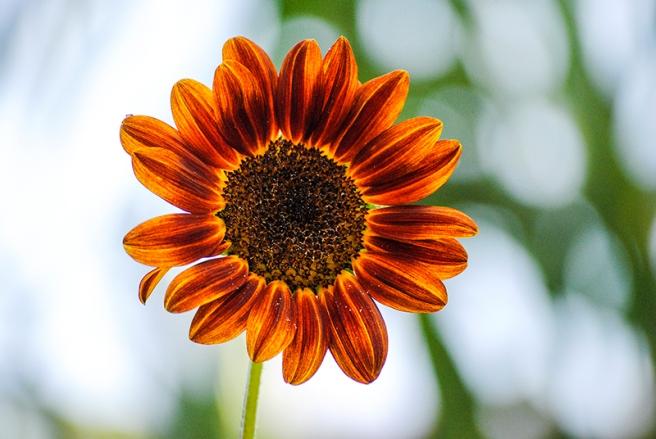 Sunflower at Clark Botanic Garden in Albertson, NY. Photo by Alyson Goodman.
