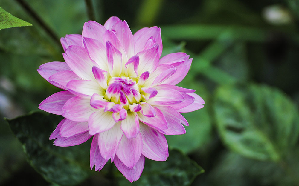 Dahlia at Old Westbury Gardens in Old Westbury, NY. Photo by Alyson Goodman.