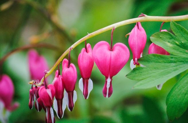 Bleeding Hearts at Clark Botanic Garden in Albertson, NY. Photo by Alyson Goodman.