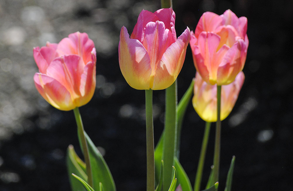 Tulips at Old Westbury Gardens in Old Westbury, NY. Photo by Alyson Goodman.
