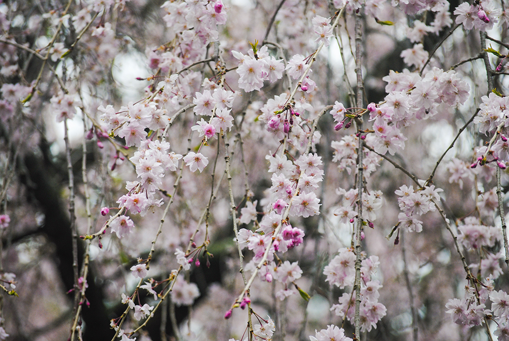 Cherry trees at Planting Fields Arboretum in Oyster Bay, NY. Photo by Alyson Goodman.