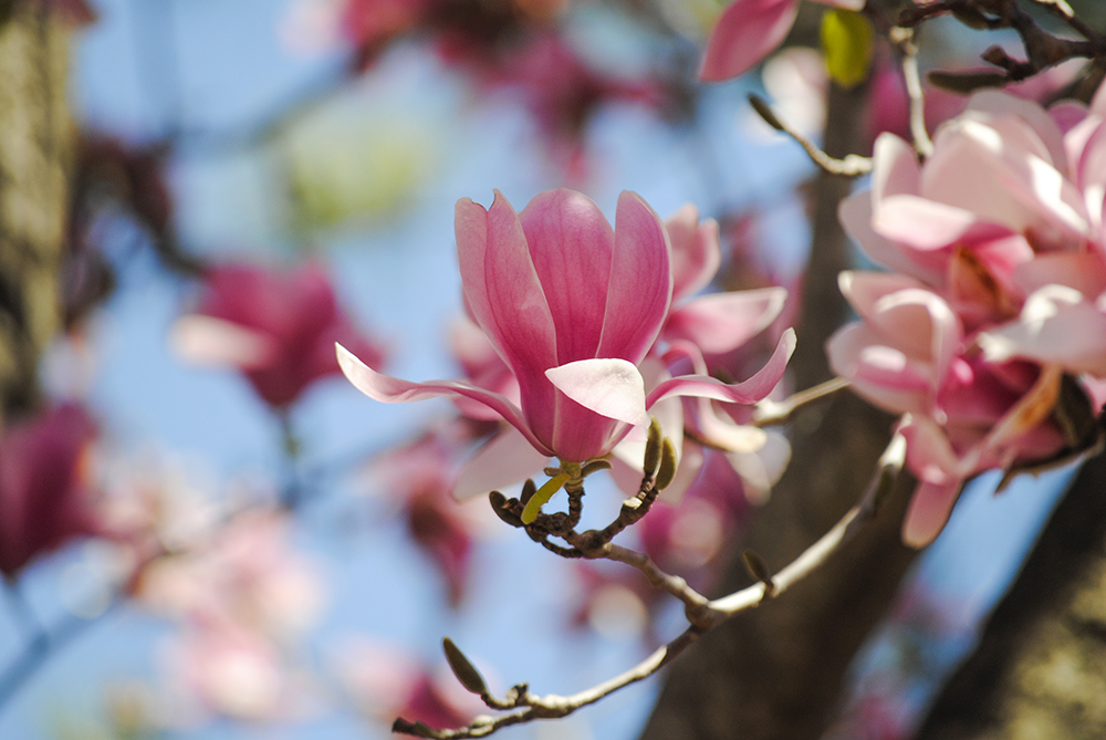 Magnolias at Clark Botanic Garden in Albertson, NY. Photo by Alyson Goodman.