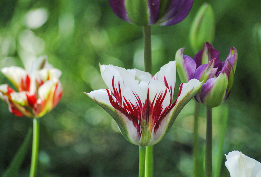 Tulips at Clark Botanic Garden in Albertson, NY. Photo by Alyson Goodman.