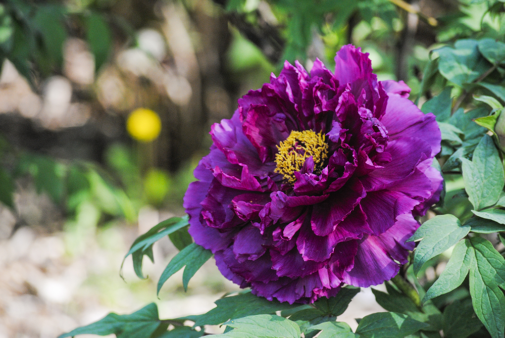 Peony in Clark Botanic Garden in Albertson, NY. Photo by Alyson Goodman.