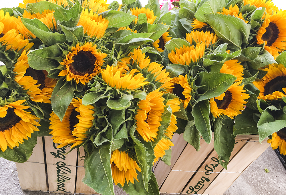 Sunflowers at Briermere Farms in Riverhead, NY. Photo by Alyson Goodman.