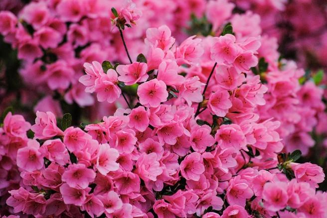 Rhododendron at Clark Botanic Garden in Albertson, NY. Photo by Alyson Goodman.