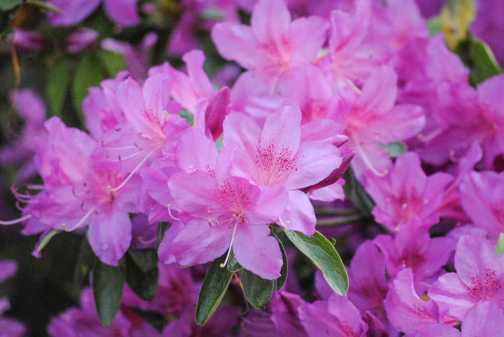 Rhododendron at Clark Botanic Garden in Albertson, NY. Photo by Alyson Goodman.