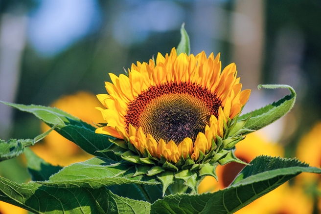 Sunflower at Bayview Farms & Market in Aquebogue, NY. Photo by Alyson Goodman.