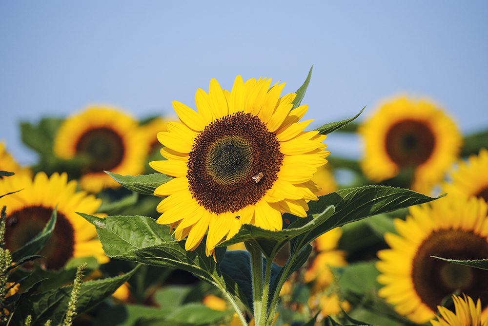 Sunflowers at Bayview Farms & Market in Aquebogue, NY. Photo by Alyson Goodman.