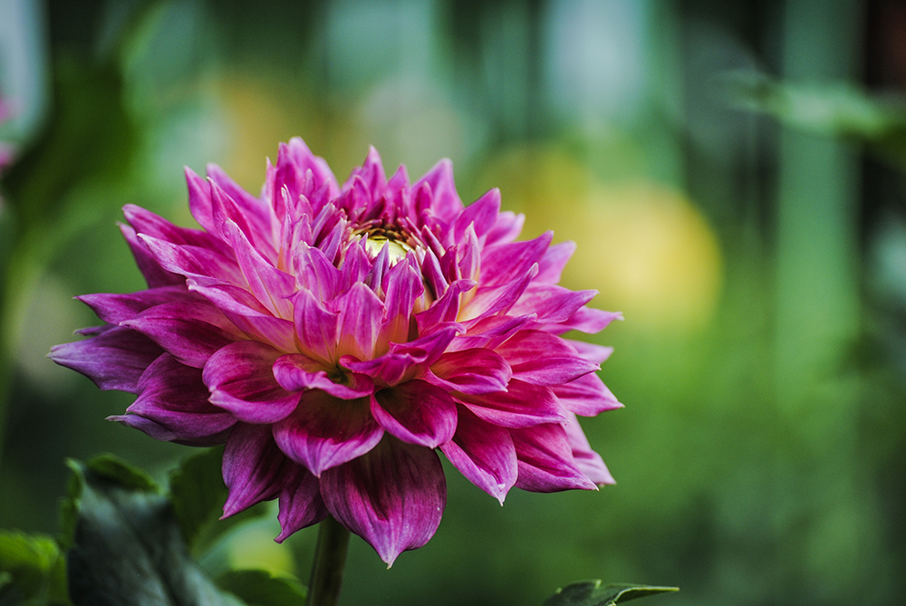 Dahlia at Eisenhower Park in East Meadow, NY. Photo by Alyson Goodman.