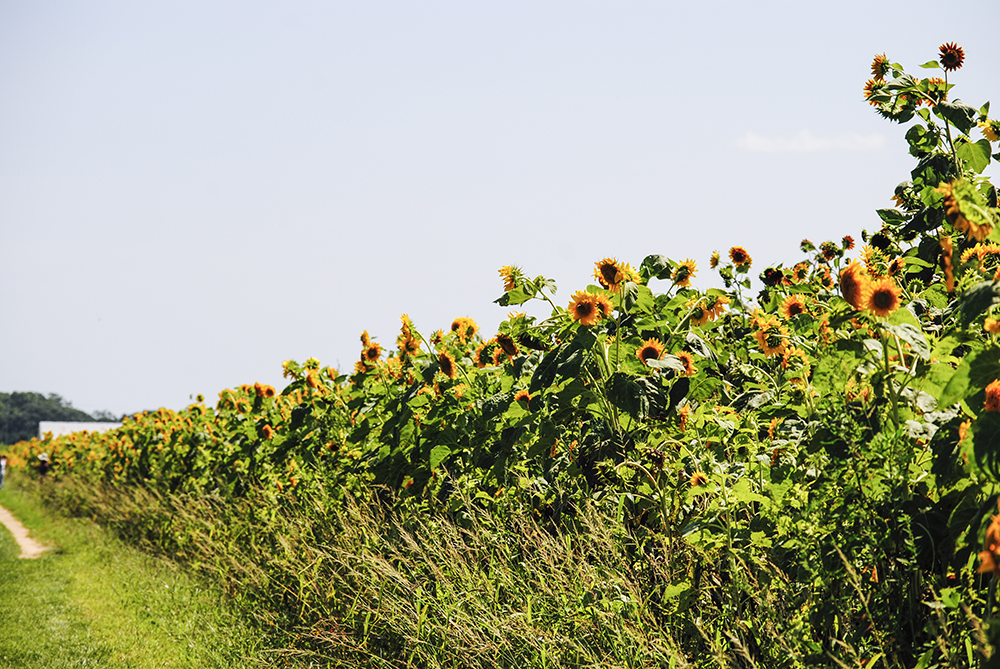 Sunflowers at Patty's Berries & Bunches in Mattituck, NY. Photo by Alyson Goodman.