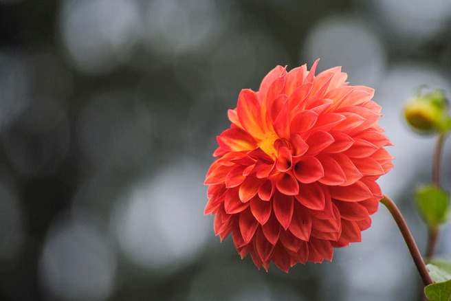 Dahlia at Planting Fields Arboretum in Oyster Bay, NY. Photo by Alyson Goodman.