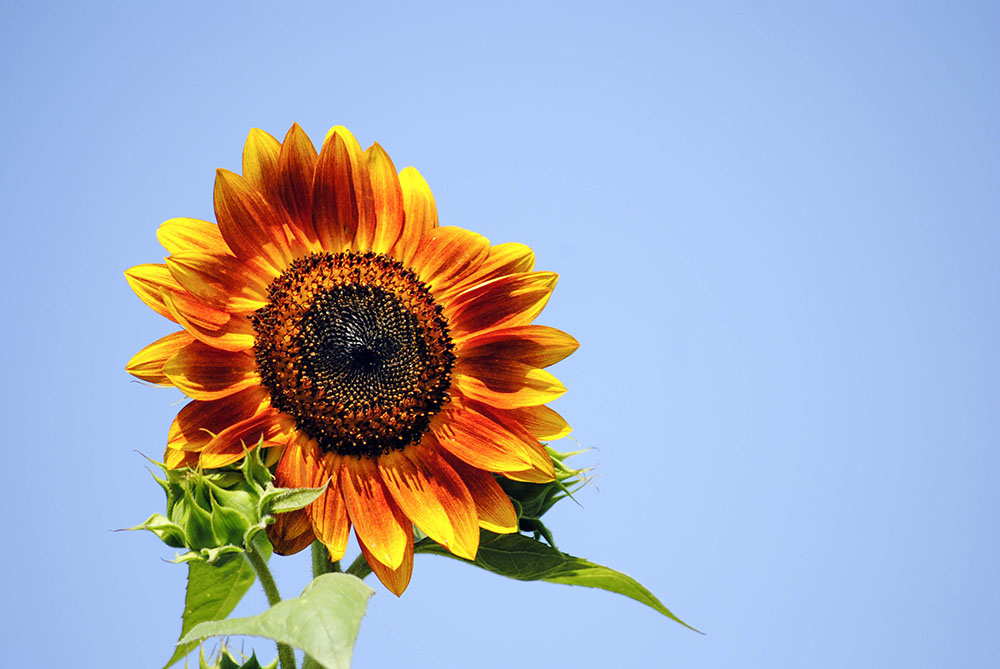 Sunflower at Patty's Berries & Bunches in Mattituck, NY. Photo by Alyson Goodman.