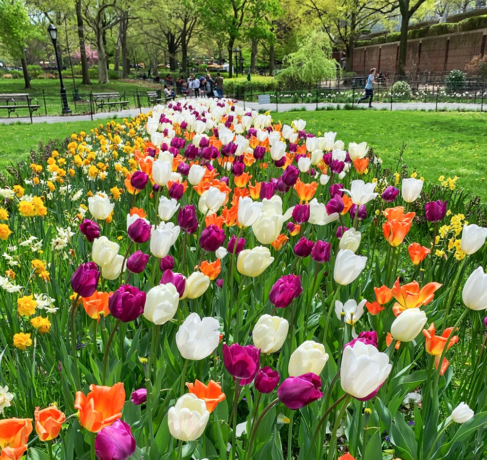 Tulips in Central Park, New York, NY. Photo by Alyson Goodman.